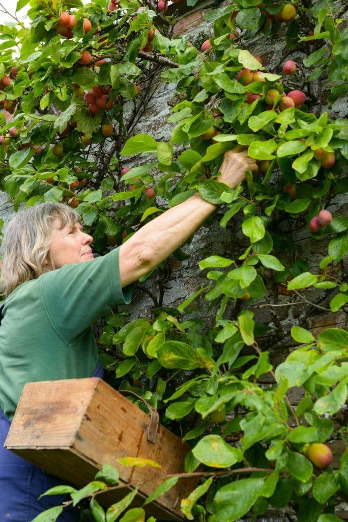 Gordon Castle Walled Garden Plum Picking