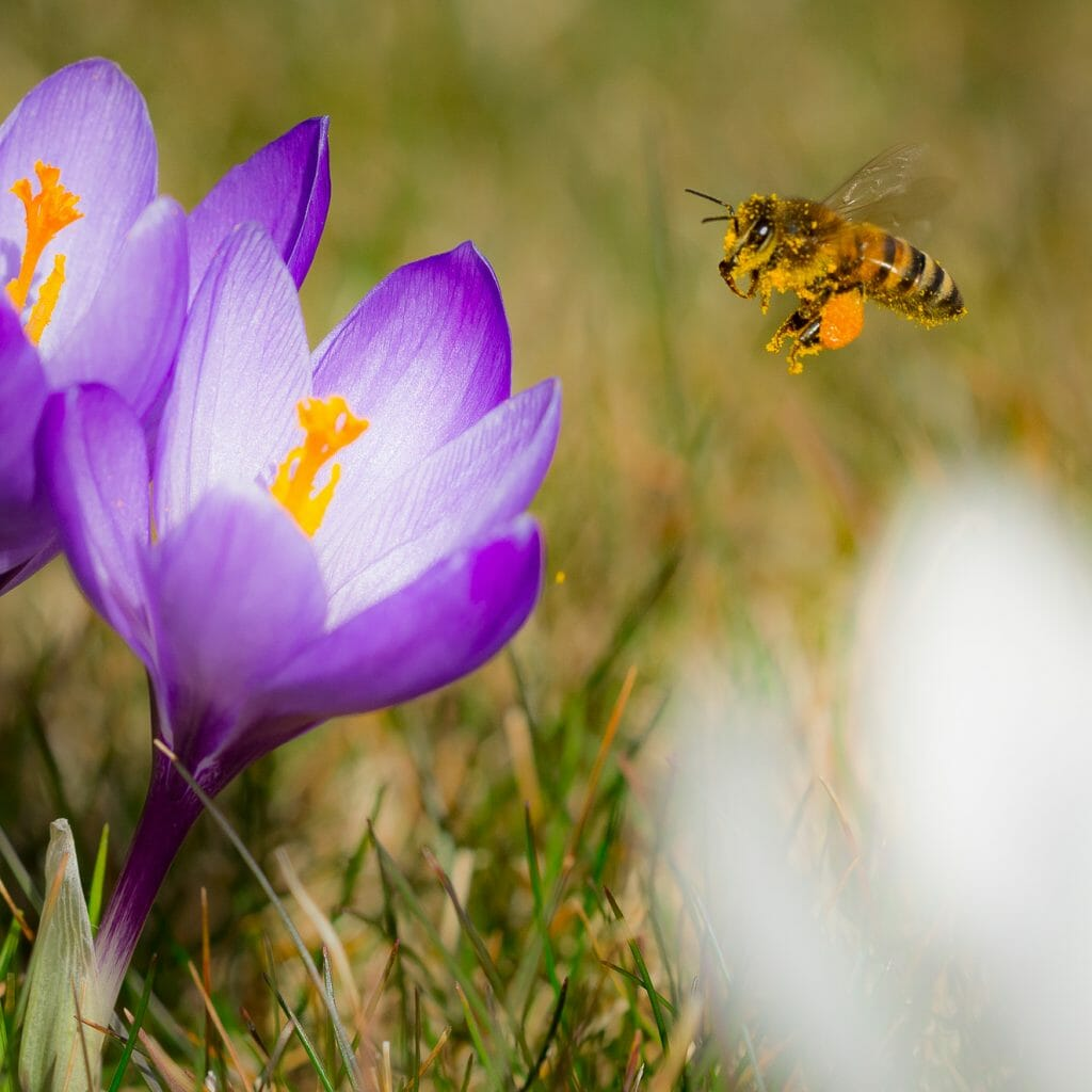 Bee and Crocus