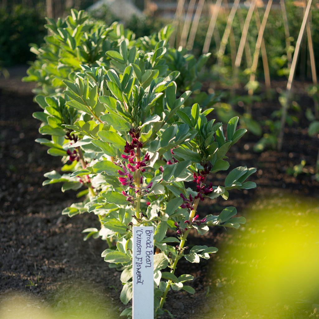 Gordon Castle Walled Garden Heritage Vegetables