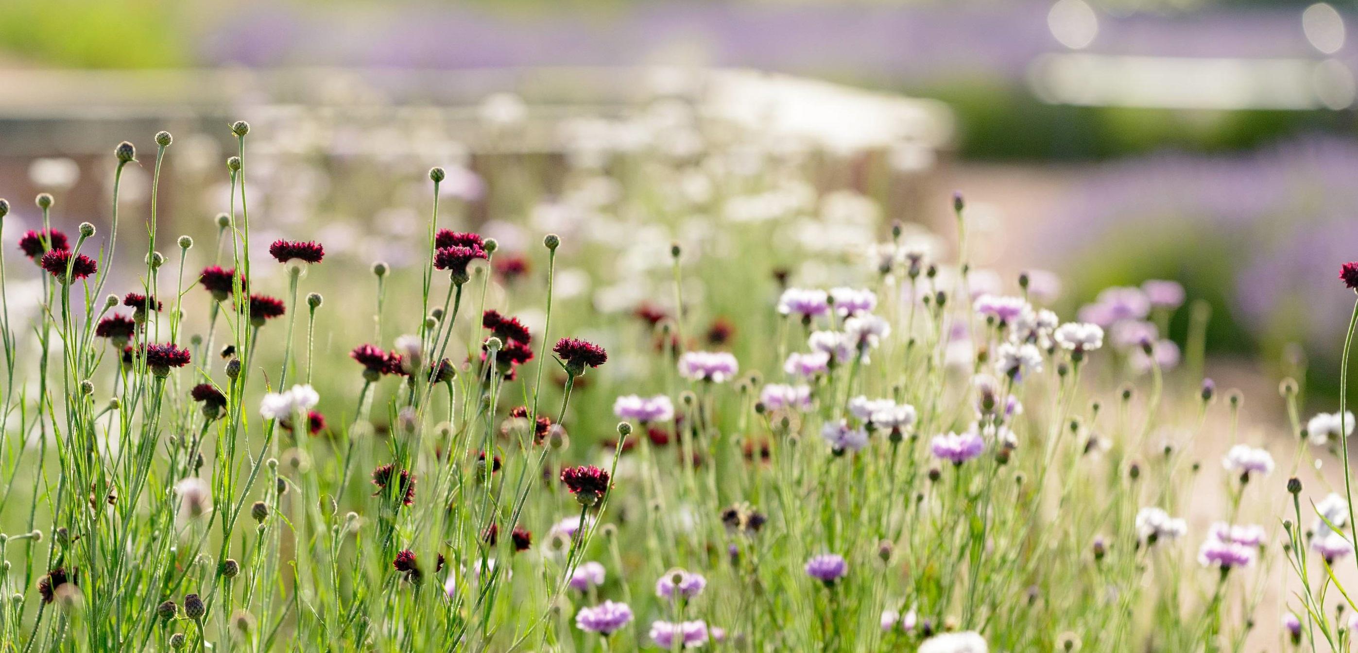 Cut Flowers Gordon Castle Walled Garden