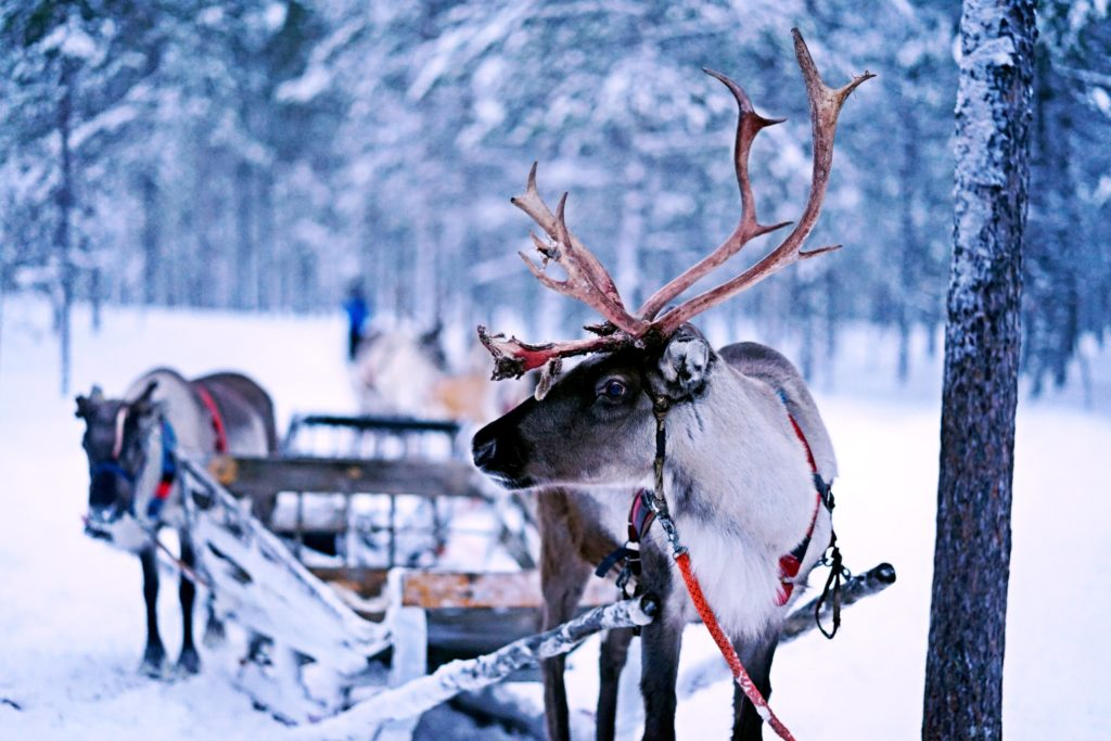 Meet the Reindeer at Gordon Castle